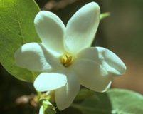 AFI012: Bush Gardenia