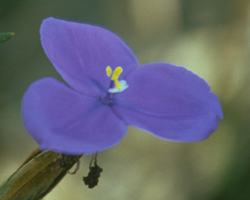 AFI013: Bush Iris