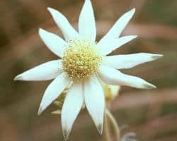 AFI019: Flannel Flower