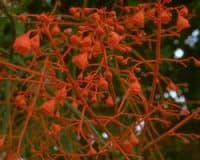AFI026: Illawarra Flame Tree