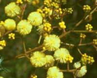 AFI055: Sunshine Wattle