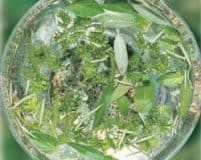 AFO002: Green Essence